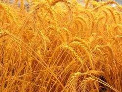 Яра пшениця