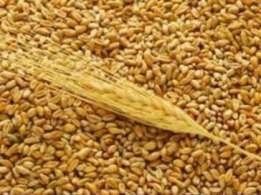 Насіння пшениці озимої